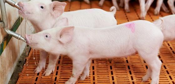 Schweinefutter/Schweinefütterung